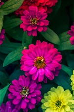 Preview iPhone wallpaper Zinnias flowers, yellow, pink, red
