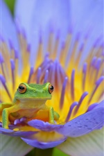 Preview iPhone wallpaper Amphibian, frog, blue petals water lily