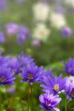 Preview iPhone wallpaper Anemone, blue flowers, petals
