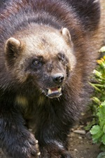 Preview iPhone wallpaper Animal photography, wolverine, angry