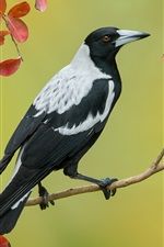 Preview iPhone wallpaper Australian magpie, twigs, red leaves