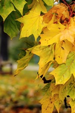 Preview iPhone wallpaper Autumn, yellow maple leaves