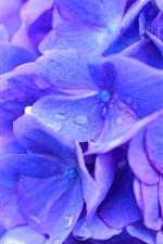 iPhone обои Красивые голубые цветы гортензии макросъемка, роса