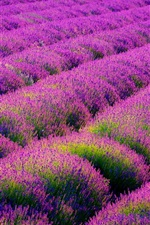Preview iPhone wallpaper Beautiful lavender flowers field