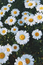 Preview iPhone wallpaper Beautiful white daisies flowers