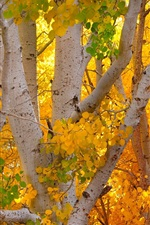 Preview iPhone wallpaper Birch forest, yellow leaves, autumn