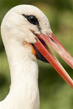 Bird photography, stork, head, beak