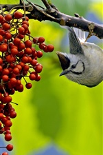 Preview iPhone wallpaper Bird want to eat berries