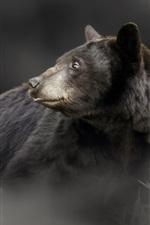 Black bear look back