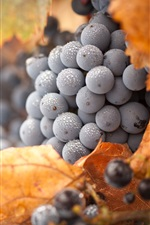 Preview iPhone wallpaper Black grapes, water drops, yellow leaves, autumn