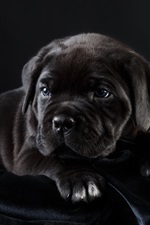 Preview iPhone wallpaper Black puppy rest
