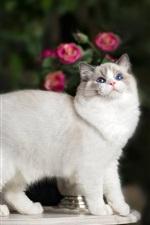 Blue eyes kitten, white, tail