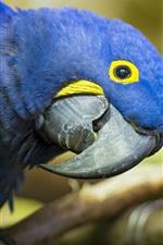Preview iPhone wallpaper Blue parrot look at you, beak
