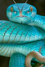 Preview iPhone wallpaper Blue snake, viper, eyes