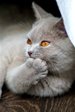 Preview iPhone wallpaper British kitten funny pose