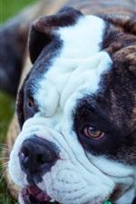 Bulldog playful, grass