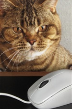 Preview iPhone wallpaper Cat want to play mouse, funny picture