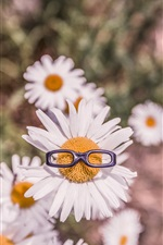 Preview iPhone wallpaper Chamomile flowers, white petals, glasses toy