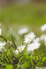Chamomile, white petals, blurry