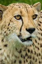 Preview iPhone wallpaper Cheetah, look, big cat