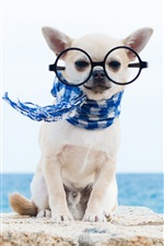 Preview iPhone wallpaper Chihuahua dog, scarf, glasses, funny animals