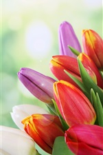 Colorful tulips, yellow, white, red, pink