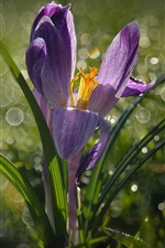 Preview iPhone wallpaper Crocus, grass, spring