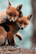 Cute foxes playing