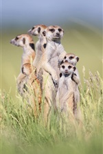 Preview iPhone wallpaper Cute meerkats stand in grass, family