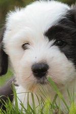 Preview iPhone wallpaper Cute puppy, white and black, grass