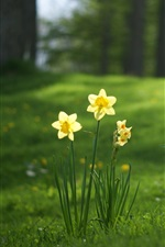 Preview iPhone wallpaper Daffodils, grass