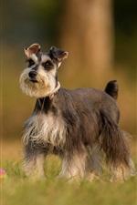 Fluffy dog, grass