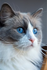 Preview iPhone wallpaper Furry blue eyes cat, face, chair