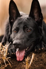 Preview iPhone wallpaper German shepherd, black dog front view