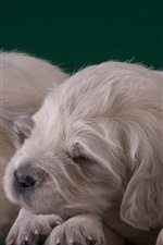 Golden Retriever, three puppies sleep