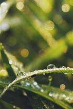 Preview iPhone wallpaper Grass leaves, water drops, dew, insect