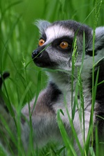 Preview iPhone wallpaper Grass, lemur