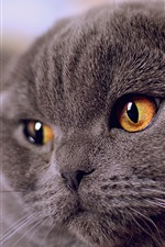 Preview iPhone wallpaper Gray fold cat front view, yellow eyes