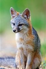 Preview iPhone wallpaper Gray fox, predator