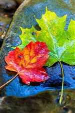 Green and red maple leaves, stone, water
