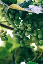 iPhone обои Зеленый виноград, незрелый
