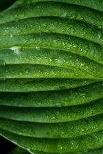 Preview iPhone wallpaper Green leaf macro photography, water drops