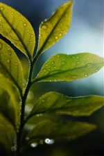 Green leaves, backlight, water drops, glare