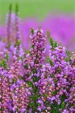 Preview iPhone wallpaper Heather pink flowers, blurry background