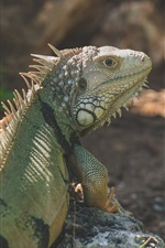 Preview iPhone wallpaper Iguana rear view, reptile