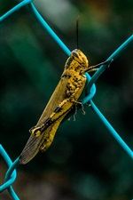 Insect, grasshopper, fence