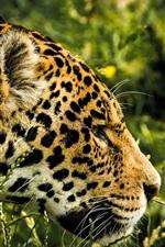 Preview iPhone wallpaper Jaguar, predator, spot, head, grass