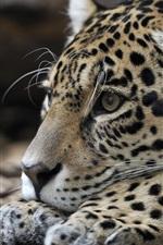 Preview iPhone wallpaper Jaguar, rest, predator, head