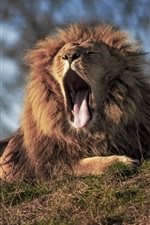 Preview iPhone wallpaper King of beasts, lion, yawn