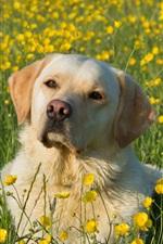 Preview iPhone wallpaper Labrador Retriever, dog, yellow flowers